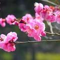 写真: 仙台の紅梅