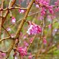 枝垂れ桜~葉山花ノ木公園