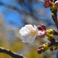 桜~黒崎城址公園