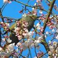 大宰府の桜