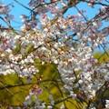 大宰府の桜^^