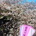 写真: 目黒川の桜^^