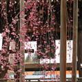 鐘楼としだれ桜