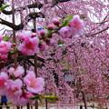 写真: 春爛漫ですね~