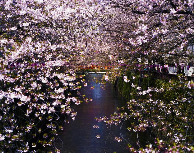 『中目黒葉桜写真-桜川架橙橋-』