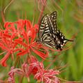 写真: 彼岸花とアゲハ蝶