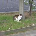 写真: 青い目の猫