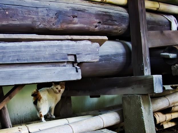 Photos: 上中里 平塚神社 猫