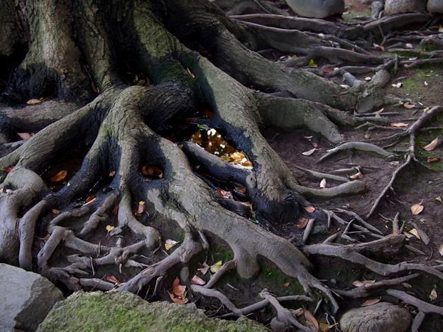 八雲神社 木の根っこ