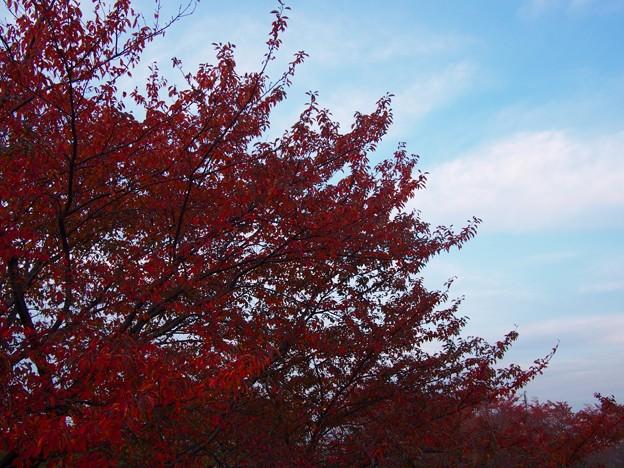 荒川土手 紅葉