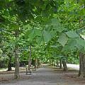 写真: (夏)プラタナス並木