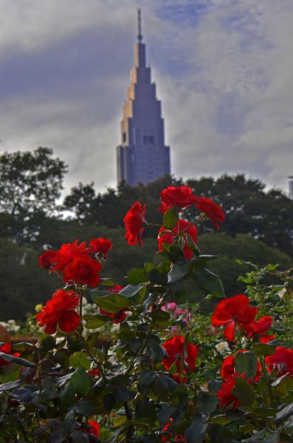 Photos: 薔薇とドコモタワー
