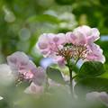Photos: 紫陽花 (2)