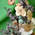 写真: 枯れ行く柏葉紫陽花