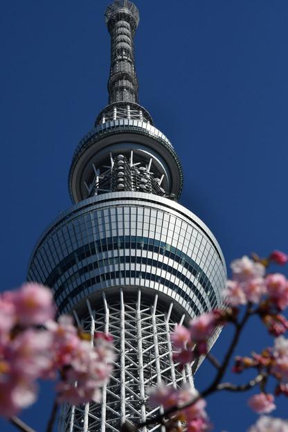 河津桜咲く1