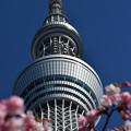 写真: 河津桜咲く1