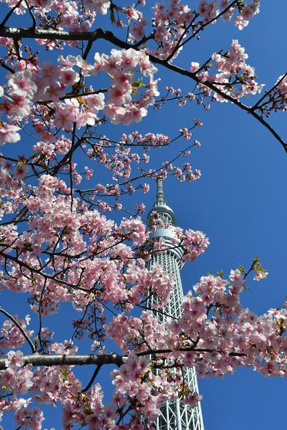 河津桜咲く3