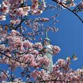 写真: 河津桜咲く3