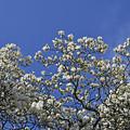 ハクモクレン咲く (2)