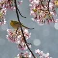 写真: 葉桜にメジロ