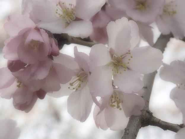 御苑の枝垂れ桜 (2)