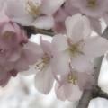 写真: 御苑の枝垂れ桜 (2)