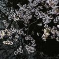 高遠小彼岸桜 (2)