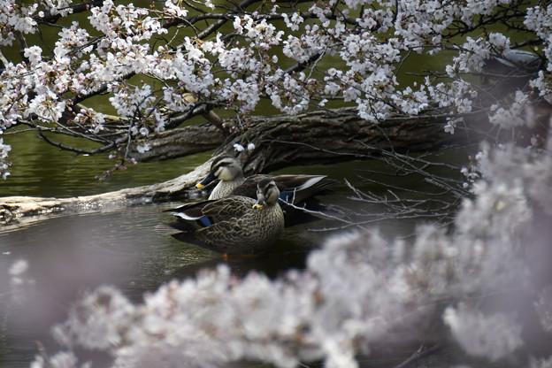 写真: 桜に埋もれて