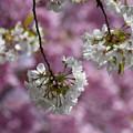 写真: 大島桜