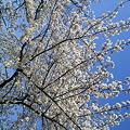 Photos: この前見に行った桜です。撮...