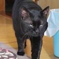 Photos: 黒猫のクロ(=^o^=) (1)