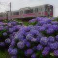 紫陽花の向こうに3