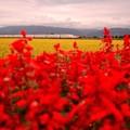 こまちといなほと赤い花