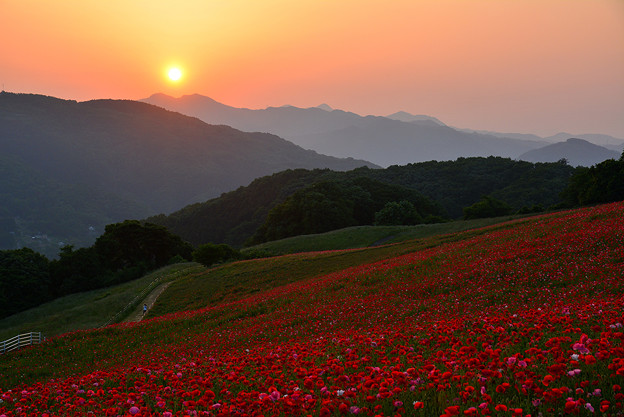 写真: 夕日に染まるポピー畑