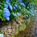 写真: 雄川堰のあじさい