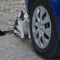 写真: 車好きのうし柄ちゃん