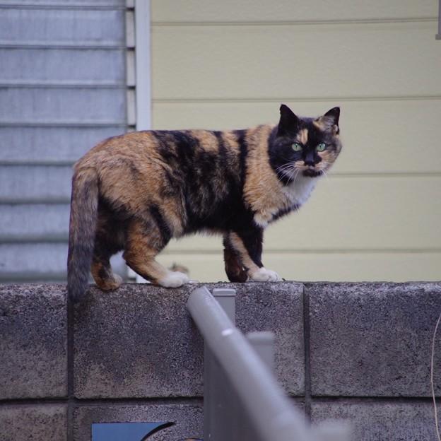 写真: 猫歩き2匹目