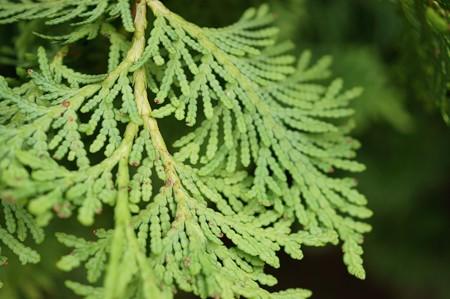 匂い檜葉(ニオイヒバ)