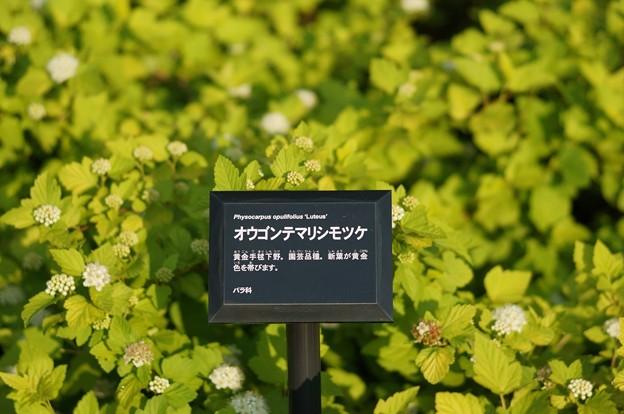 Photos: 亜米利加手毬下野(アメリカテマリシモツケ) ルテウス