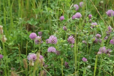 紫詰草(ムラサキツメクサ)