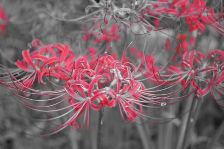 彼岸花の別名は地獄花