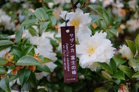 山茶花 富士の峰