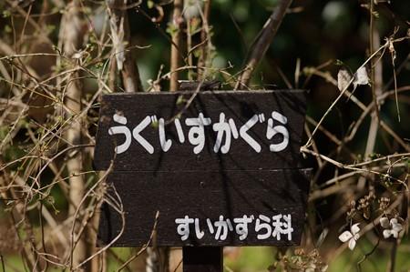 鶯神楽(ウグイスカグラ)