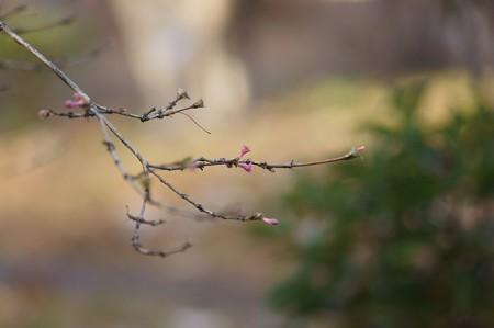深山鶯神楽(ミヤマウグイスカグラ)