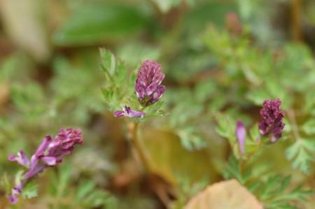 紫華鬘(ムラサキケマン)