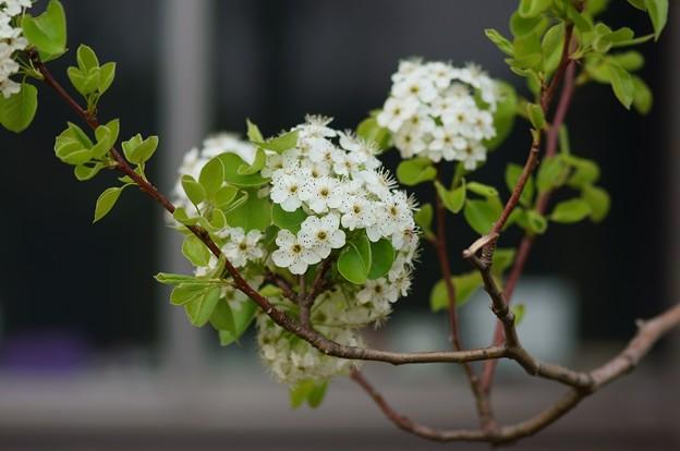 豆梨(マメナシ)