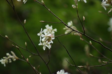 アメリカ采振木(アメリカザイフリボク)