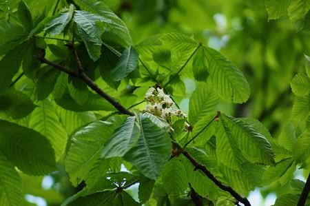 西洋栃の木(セイヨウトチノキ)