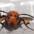 Photos: 蜂の頭