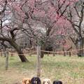 Photos: 赤い梅